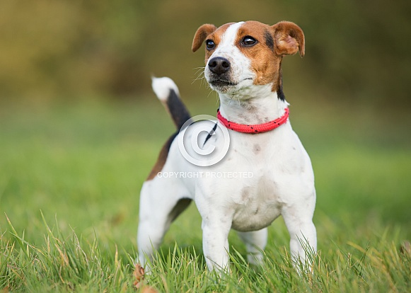 Smooth Coated Jack Russel Terrier