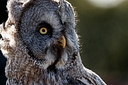 Great Grey Owl Close Up Looking Sideways