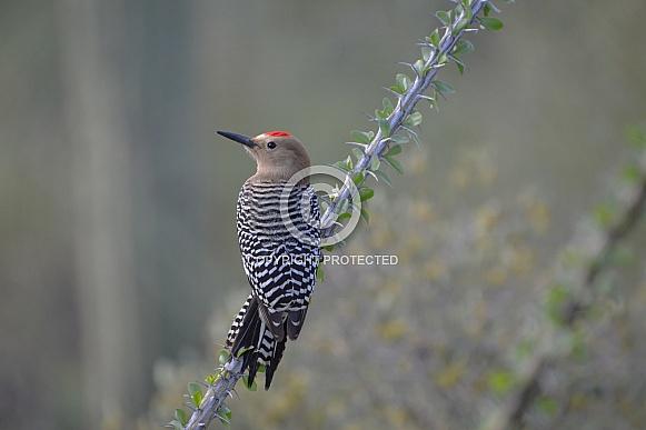 Woodpecker - Gila Woodpecker on Ocotillo