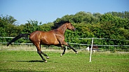 Thouroughbred Mare