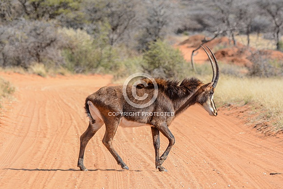 Sable bull crossing a dirt track