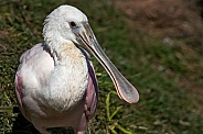 Roseate Spoonbill Side Profile