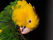 Double yellow headed amazon