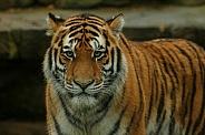 Amur Tiger Facing Camera Standing Up