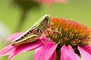 Grasshopper on echinacea.