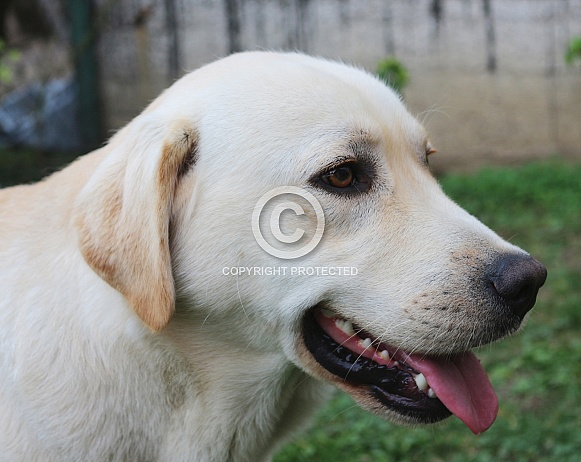 Yellow Labrador Retriever Portrait