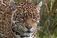 Jaguar Face Shot