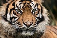 Sumatran Tiger Close Up Facial Shot