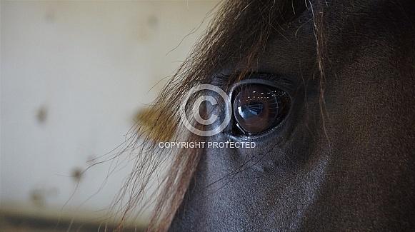 Friesian Mare's Eye