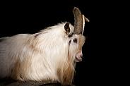 Pygmy Goat Portrait