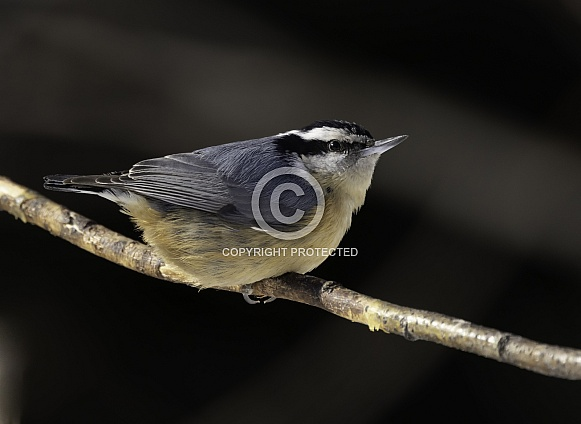 Red-breasted Nuthatch in Alaska Portrait