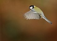 Great Tit in Flgt