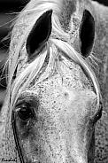 Arabian Stallion Eyes