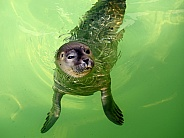 Young rescued Harbor Seal