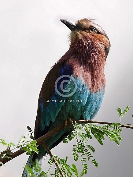Lilac breasted Roller (Coracias caudatus)