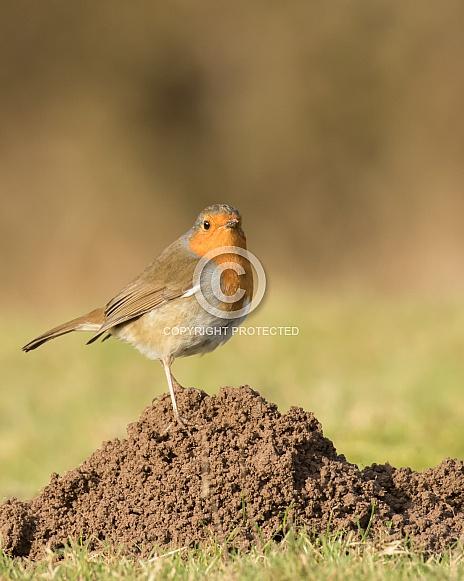 European Robin on a Molehill