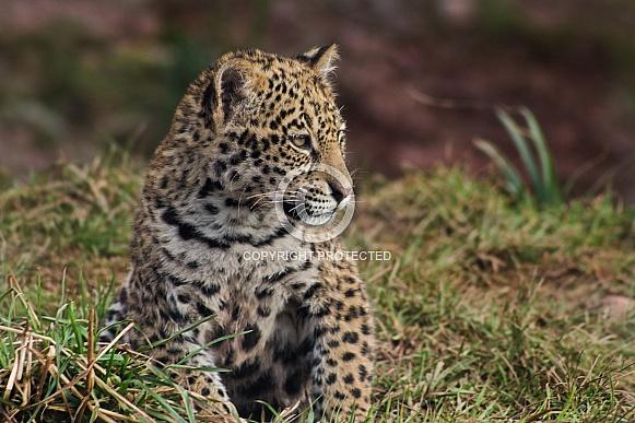 Jaguar Cub Close Up