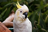 Lesser Sulphur Crested Cockatoo, close up
