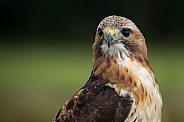 European Buzzard