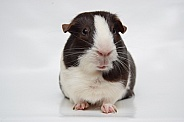 Chocolate Dutch Guinea Pig