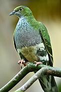 Superb Fruit Dove