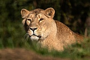 Asiatic Lioness Coming Over The Hill