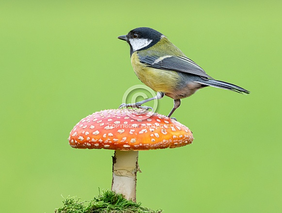 A Great tit on Toadstool