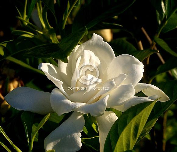 White Gardenia basking in the Sunlight