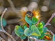 Eutricha capensis (Cape Lappet)