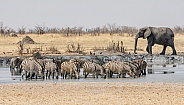 Zebra At Watering Hole