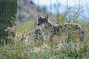 Coyote in the Brush
