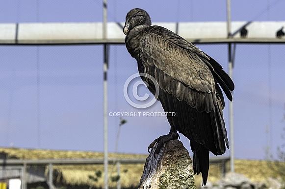 Andean condor female