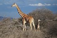 Giraffes, Mother and Calf
