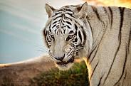 Tiger - White Tiger at Sunrise