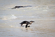 Penguin coming out of the water