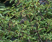 Female Yellow-rumped Warbler at the Fountain
