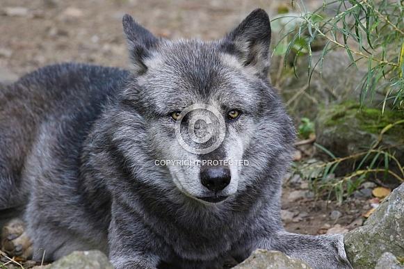 Europian wolf