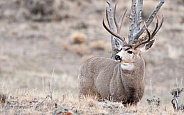 Wild Mule Deer Bucks