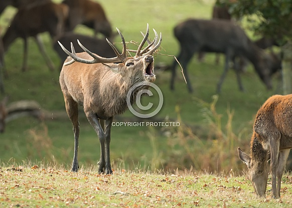 Red Deer Stag Roaring