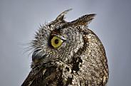 Owl - Western Screech Owl Portrait