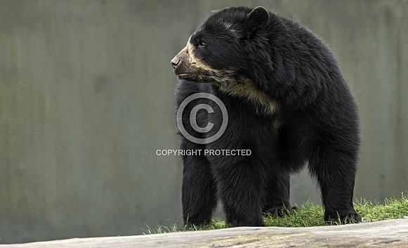 Andean Bear Full Body Side Profile
