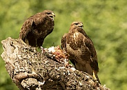Wild Common Buzzards on Wood Pigeon Carcass