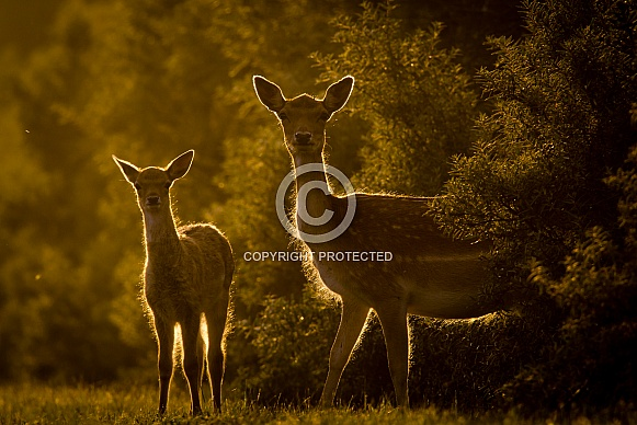 Deer and Fawn in the evening sun