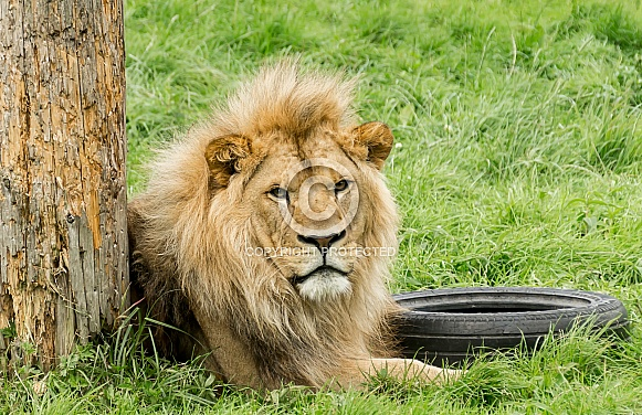 African Lion Relaxing