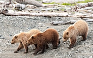 Three young brown bear cubs on a beach