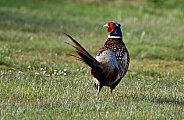 Male Pheasant displaying