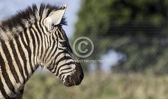 Young Grants Zebra Side Profile