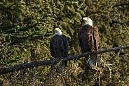 Bald Eagle's