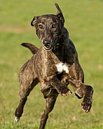 Brindle Greyhound at Speed