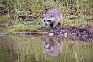 Raccoon Baby Reflection - 2 Months Old